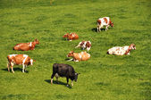 Herd of cattle on a scenic Alpine meadow. — Stock Photo