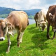 Swiss cows — Stock Photo #20878731
