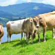 Swiss cows — Stock Photo #20878847