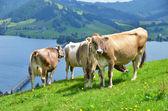 Swiss koeien op alpine weide — Stockfoto