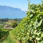 Vineyards in Lavaux region, Switzerland  — Stock Photo #20880337