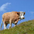 Cow on the Alpine meadow. Jungfrau region, Switzerland — Stock Photo