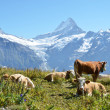 Cows on the Alpine meadow. Jungfrau region, Switzerland — ストック写真