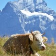 Cow in an Alpine meadow. Jungfrau region, Switzerland  — ストック写真