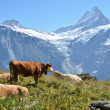 Royalty-Free Stock Photo: Cows in an Alpine meadow. Jungfrau region, Switzerland