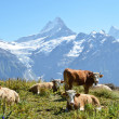 vaches à l'alpage. région de la Jungfrau, Suisse — Photo #20908635
