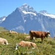 Cows on the Alpine meadow. Jungfrau region, Switzerland — Foto de Stock