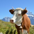 Stock Photo: Swiss cow. Jungfrau region, Switzerland