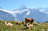 Cows on the Alpine meadow. Jungfrau region, Switzerland — Stockfoto