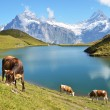 Cows in an Alpine meadow. Jungfrau region, Switzerland - Stock Photo
