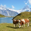 Cows in the Alpine meadow. Jungfrau region, Switzerland  — Stock Photo