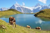 Cows in an Alpine meadow. Jungfrau region, Switzerland — Stock Photo