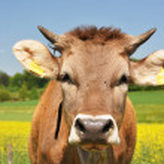 Swiss cows — Stock Photo
