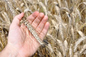 Wheat ear in the hand — Stock Photo