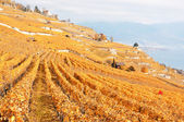 Vineyards in Lavaux region, Switzerland — Stock Photo