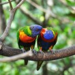Pair of kissing parrots - Stock Photo
