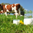 Stockfoto: Jug of milk against herd of cows. Emmental region, Switzerland