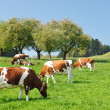 Foto Stock: Cows in Emmental region, Switzerland