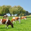 图库照片: Cows in Emmental region, Switzerland