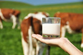 Glass of milk on the hand against herd of cows — Stock Photo