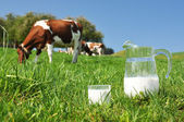 Jug of milk against herd of cows — Stock Photo