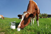 Cow and jug of milk. Emmental region, Switzerland — Stock Photo