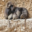 Three gelada baboons on a rock - Stock Photo