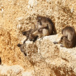 Gelada baboons on a rock — Stock Photo