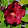 Stock Photo: Hibiscus flower