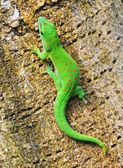 Green Madagascar day gecko on a palm tree — Stock Photo