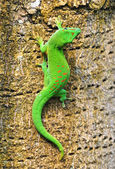 Madagascar day gecko — Stock Photo