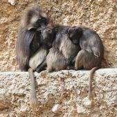 Three gelada baboons on a rock — Stock Photo