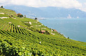 Vineyards in Lavaux against Geneva lake, Switzerland — Stock Photo