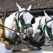 Pair of horses in harness. Switzerland - Stock Photo