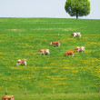 Foto Stock: Herd, of, cattle, on, a, scenic, Alpine, meadow., Emmental, Swit