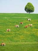 Herd, of, cattle, on, a, scenic, Alpine, meadow., Emmental, Swit — Stock Photo