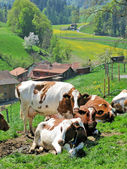 Cows in Emmental region, Switzerland — Stock Photo