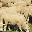 Flock of sheeps - Stock Photo