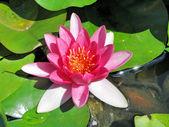 Fiore di loto — Foto Stock