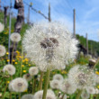 Delicate dandelions against blue sky — Stock Photo