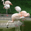 Stock Photo: Flamingos in Zurich Zoo