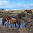 Wild horses at stamping ground. Easter Island — Stock Photo