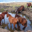 Stock Photo: Wild horses at stamping ground. Easter Island