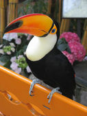 Toucan bird on orange bench — Stock Photo