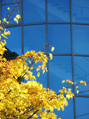 Yellow maple tree against blue glass wall — Stock Photo