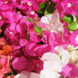 Royalty-Free Stock Photo: Bougainville flowers