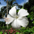 Stock Photo: White hibiscus flower