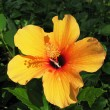 Stock Photo: Orange hibiscus flower