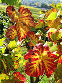 Vineyard in Montreux, Switzerland — Stock Photo