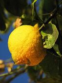 Lemon against blue Italian sky — Stock Photo